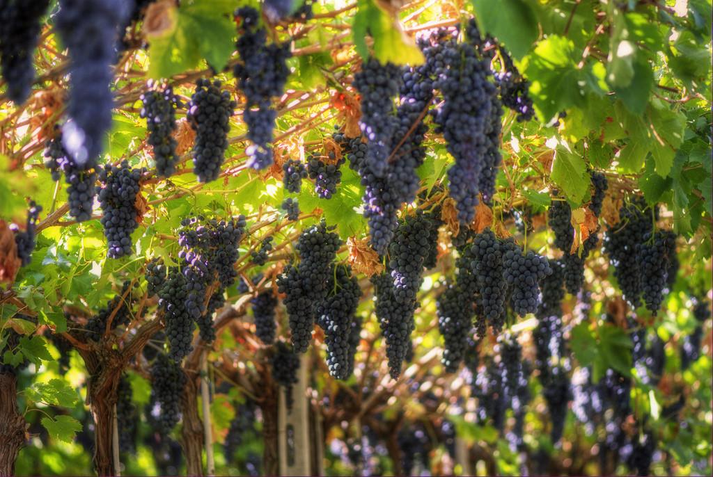 Grapes_growing_in_Valpolicella-1024x686
